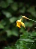 Dode gele narcis Royalty-vrije Stock Afbeelding