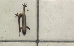 Dode huishagedis Zijn voeten plakten aan de oude muur Royalty-vrije Stock Foto's