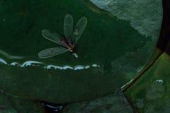 Dode insectmug op waterlelieblad in meer, macro Royalty-vrije Stock Foto's
