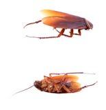 Dode kakkerlak die op een witte achtergrond wordt geïsoleerd Stock Fotografie