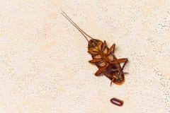 dode kakkerlak met kakkerlakkeneieren Stock Afbeelding