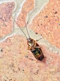 Dode kakkerlak op de Bruine vloer een kever zoals insect met lange antennes en benen Stock Afbeelding