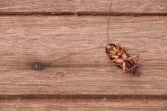 Dode kakkerlakken royalty-vrije stock foto's