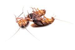 Dode kakkerlakken stock foto