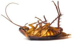 Dode kakkerlakken stock afbeeldingen