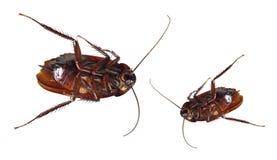 Dode kakkerlakken royalty-vrije stock foto