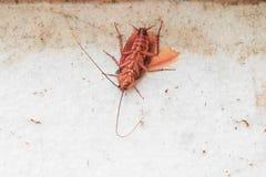 Dode kakkerlakken magere Hoogste mening stock foto
