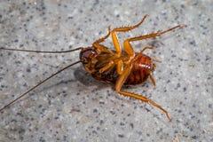 Dode kakkerlakken op de vloertegels Royalty-vrije Stock Fotografie