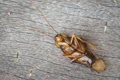 Dode kakkerlakken op houten royalty-vrije stock afbeeldingen