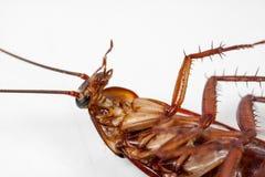 Dode kakkerlakken witte achtergrond stock foto