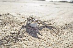 Dode Krab met grote klauwen bij het strand Stock Afbeelding
