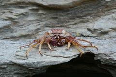 Dode krab op een rots royalty-vrije stock foto's