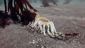 Dode krab op een verlaten zandige bodem van de Barentsz Zee stock video