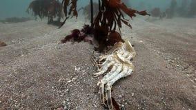 Dode krab op een verlaten zandige bodem van de Barentsz Zee stock videobeelden