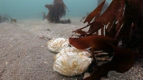 Dode krab op een verlaten zandige bodem van de Barentsz Zee stock footage