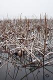 Dode lotusbloeminstallaties. De winter bij het Westenmeer, Hangzhou Stock Fotografie