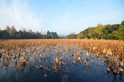 Dode lotusbloeminstallaties tijdens de winter op het Westenmeer, Hangzhou Stock Fotografie