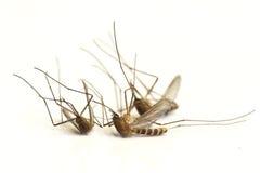 Dode muggen Royalty-vrije Stock Afbeeldingen