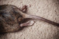 Dode muis Stock Afbeeldingen