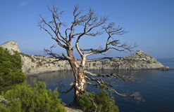 Dode pijnboom over het overzees. Royalty-vrije Stock Foto