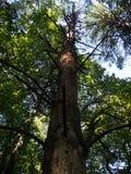 Dode pine-wood stock foto's