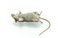 Dode rat Stock Foto