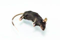 Dode rat Royalty-vrije Stock Afbeeldingen