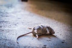 Dode rat op concrete vloer Stock Fotografie