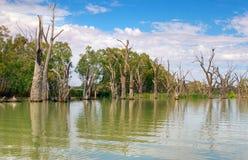 Dode rivierbomen in murray stock foto's