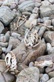 Dode schapen op strand Royalty-vrije Stock Afbeeldingen