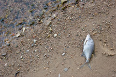 Dode vissen Stock Fotografie