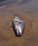 Dode vissen Royalty-vrije Stock Afbeelding