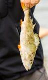 Dode vissen in de hand Stock Fotografie