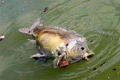 Dode vissen in het water stock foto