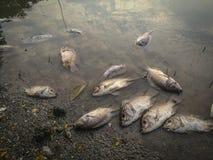 Dode vissen op de rivier donkere waterwatervervuiling Royalty-vrije Stock Fotografie