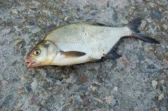 Dode vissen op de stenen Royalty-vrije Stock Afbeeldingen