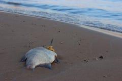 Dode vissen op het strand? beeld opgezet met verfraaid biohazard symbool Stock Foto's