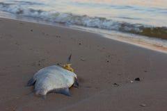 Dode vissen op het strand? beeld opgezet met verfraaid biohazard symbool Royalty-vrije Stock Foto's