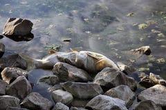 Dode vissen op rivierbank Stock Afbeelding