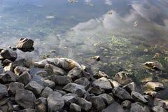 Dode vissen op rivierbank Stock Fotografie