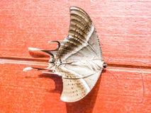 Dode vlinder Royalty-vrije Stock Afbeelding