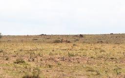Dodelijk gebeëindigd spel Jachtluipaard met buit Kenia, Afrika royalty-vrije stock fotografie