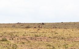 Dodelijk gebeëindigd spel Jachtluipaard met buit Savanne van Kenia, Afrika stock afbeelding