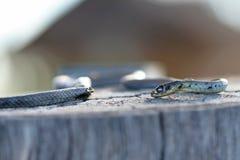 Dodelijke giftige Australische Oostelijke Bruine slang Royalty-vrije Stock Fotografie
