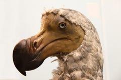 Dodo relleno Foto de archivo libre de regalías
