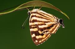 Dodona eugenes/fjäril fattar på Arkivfoton