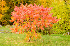Dodong do Sorbus ou árvore de Rowan Imagens de Stock Royalty Free