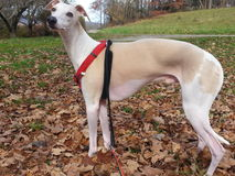 Dody the Whippet Royalty Free Stock Photos