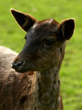 Doe. Image taking at a local wildlife reserve Royalty Free Stock Photography