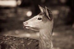 Doe Royalty Free Stock Photos
